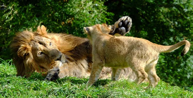 Lion playing with his cub