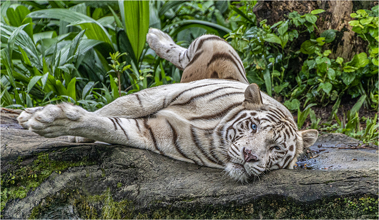 Nature 1st Place: Resting Tiger by Steve Bavill