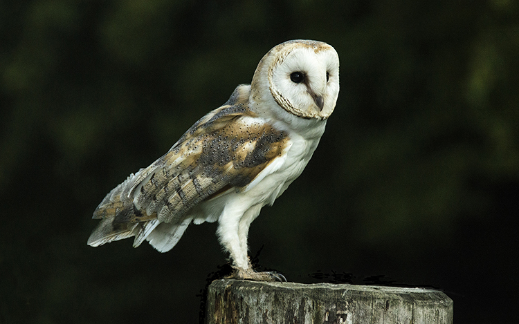 Nature 3rd Place: Barn Owl by David Wood